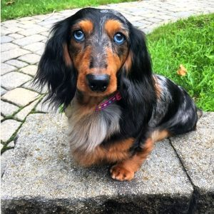 blue-eyed-dachshund