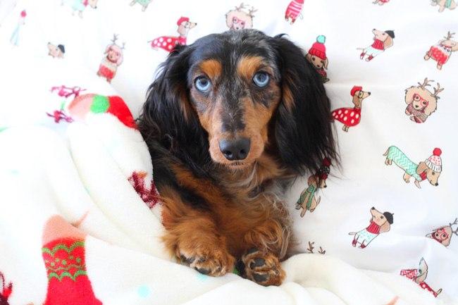 dachshund-blanket