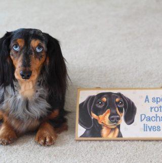 dapple-dachshund-sign