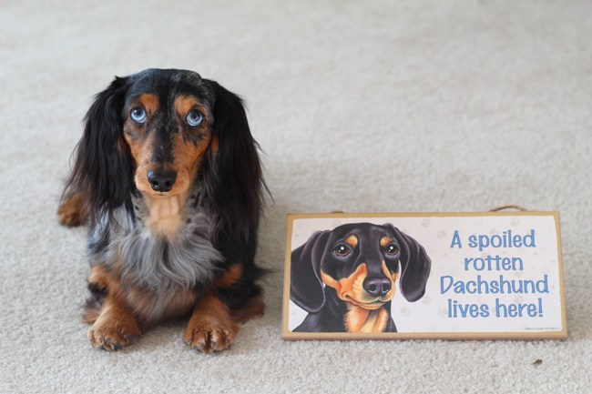dapple-dachshund-sign