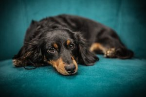 dachshund-laying-down