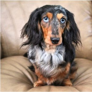 dapple-dachshund