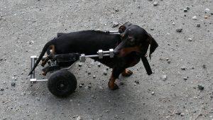 dachshund-wheelchair