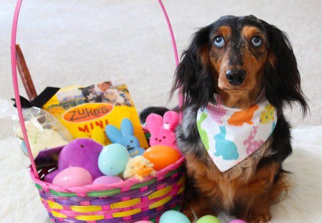 Dapple dachshund with easter basket