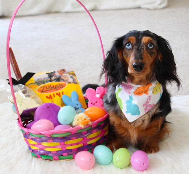 Dapple dachshund with easter basket
