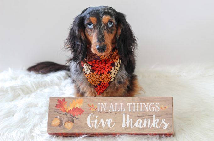 thanksgiving-dachshund
