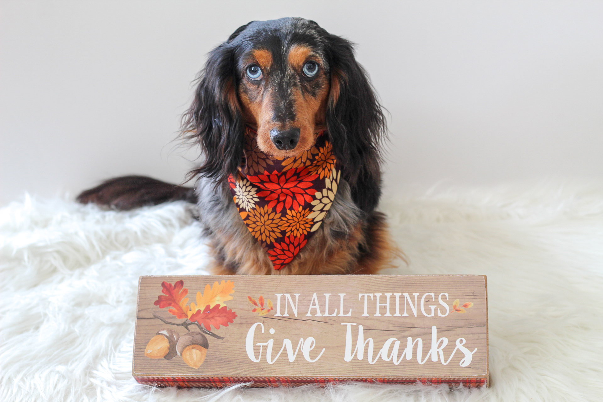 thanksgiving-dachshund