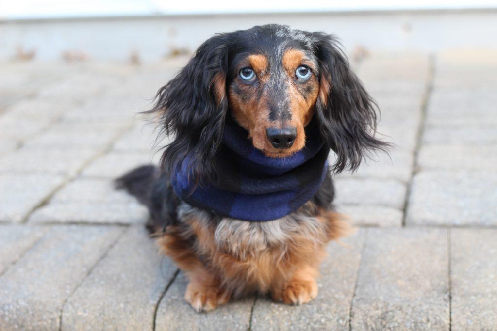 dachshund-in-scarf